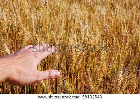 Man's hand on corn field