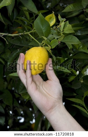 man`s hand picking a lemon from the tree