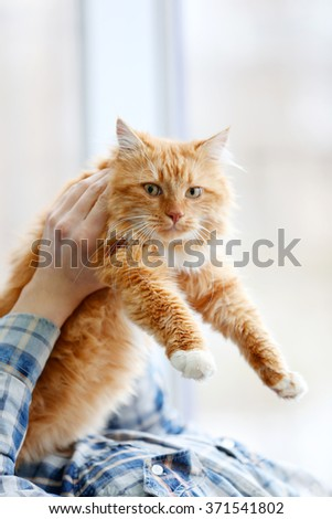 Man's hands holding a fluffy red cat