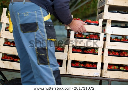 Man working in a greenhouse in Breda, Netherlands, while people are picking, harvesting them, putting a casket on a wheelbarrow - stock photo
