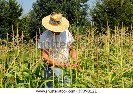 Man working the corn in his garden. - stock photo
