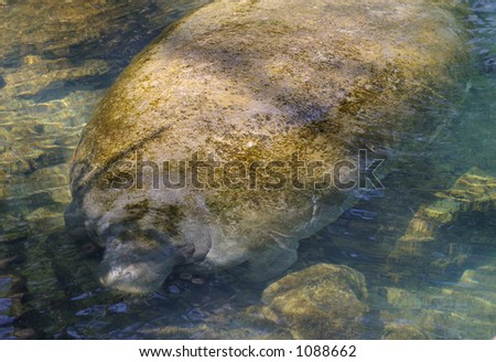 Manatee in a florida spring - stock photo