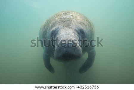 Manatee Looks into the Underwater Camera