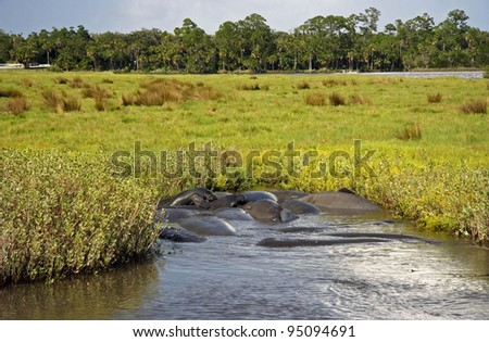 Manatee Mating Frenzy on the Tomoka River, Florida