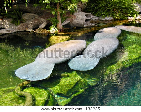 Manatees Resting In The Water #1 - stock photo