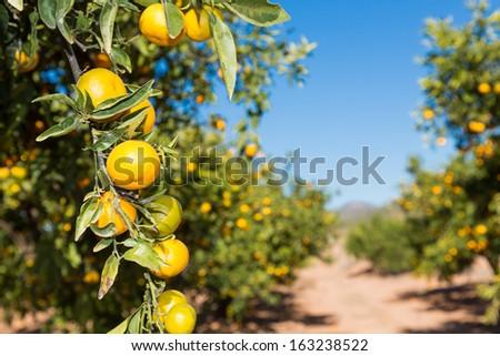 Mandarin cultivation fields in Valencia, Spain - stock photo