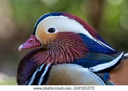 Mandarin duck - Aix galericulata - stock photo