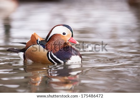 Mandarin duck on water looking at me - stock photo