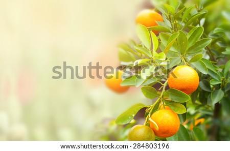 mandarin fruits on a tree, background - stock photo