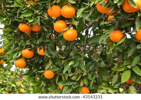 Mandarin orange tree