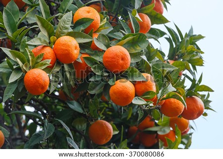 Mandarin tree with orange fruits and dense foliage.