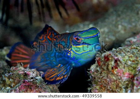 Mandarinfish (Synchiropus splendidus) are reef dwellers, preferring sheltered lagoons and inshore reefs. They are slow-moving creatures - stock photo