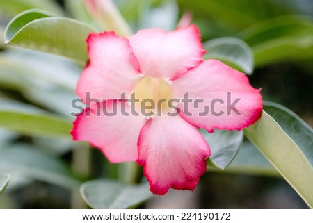 Mandevilla flower - stock photo
