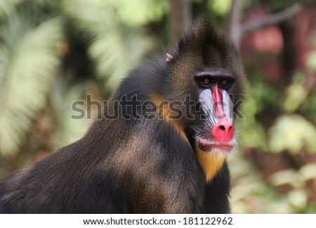 Mandrill Baboon - stock photo