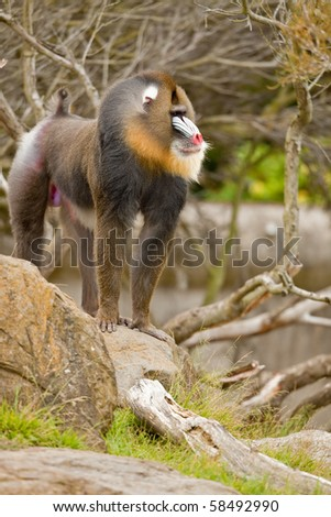 Mandrill (Mandrillus sphinx). Photo depicts primate with olive-colored fur and the colorful face and rump of males, a coloration that grows stronger with sexual maturity. - stock photo