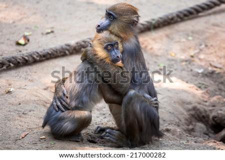 Mandrill monkeys in the zoo - stock photo