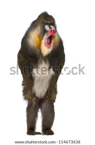 Mandrill standing and shouting, Mandrillus sphinx, 22 years old, primate of the Old World monkey family against white background - stock photo
