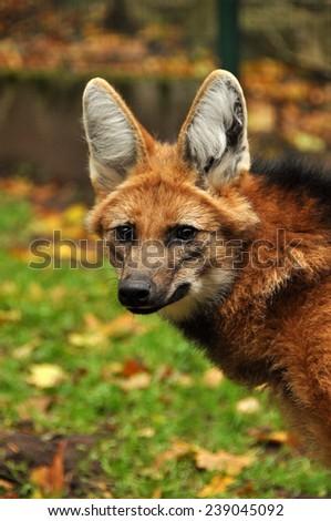 maned wolf - stock photo