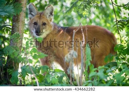 Maned wolf (Chysocyon brachyurus) - stock photo