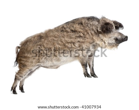 Mangalitsa or curly-hair hog standing in front of white background, studio shot - stock photo