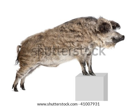 Mangalitsa or curly-hair hog standing on pedestal in front of white background, studio shot - stock photo