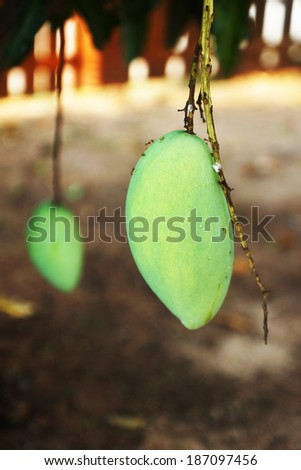 Mango fruits on a tree - stock photo