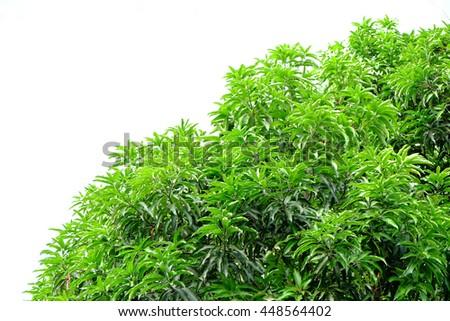 Mango green leaf - stock photo