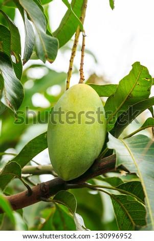 mango on mango tree - stock photo