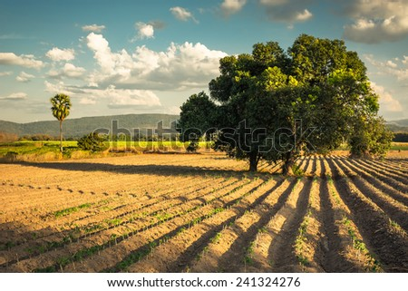 Mango tree in cassava farm, retro color style - stock photo