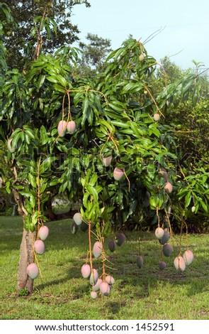 Mango tree in Florida back yard - stock photo