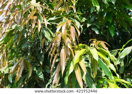 Mango tree out new leaves.