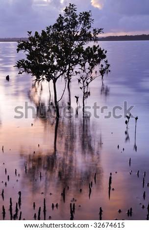 Mangrove at sunrise - stock photo