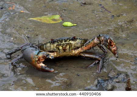 mangrove crabs in the mud - stock photo