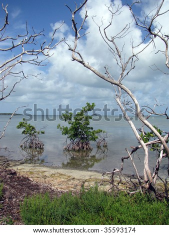 Mangrove, Florida Keys, USA - stock photo