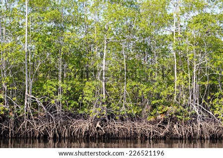 Mangrove forest from Central America, Costa Rica, Osa peninsula. - stock photo