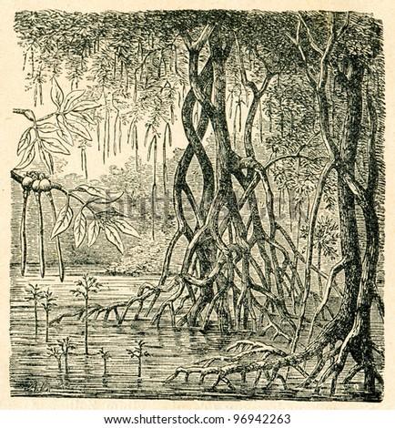 Mangrove forest - old illustration by A.Lutke from Podrecznik do nauki Botaniki, authors M.Arctowna and W Grzegorzewska, editor M.Arcta, Warsaw, 1907 - stock photo