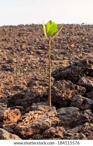 Mangrove growing in nature  - stock photo