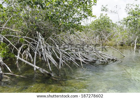 Mangrove incredible root system Incredible root formations found in the Mayan Riviera in Mexico  - stock photo