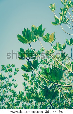 Mangrove leafs with blue sky / Green process look - stock photo