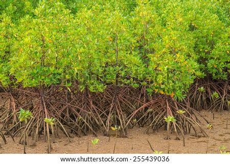 Mangrove plant in coastal forest - stock photo