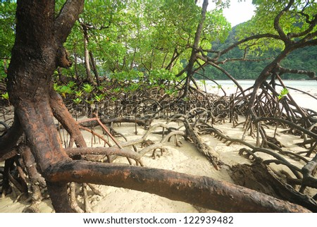 Mangrove plants growing in wetlands. A protective earth connection from the storm. And breeding animals. - stock photo