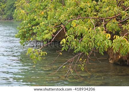 Mangrove scene at Roatan island - stock photo