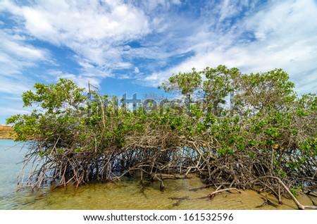 Mangrove tree and roots in La Guajira, Colombia - stock photo