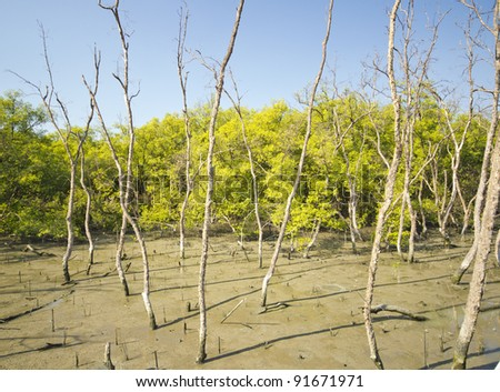 Mangrove tree at low tide - stock photo