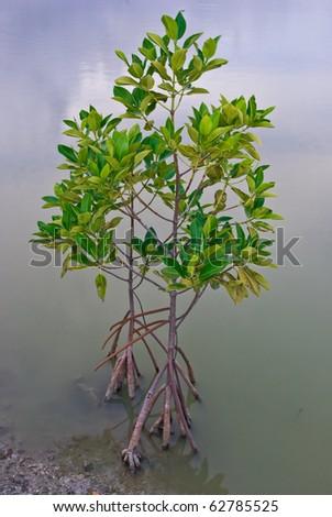 Mangrove tree at ocean beach - stock photo