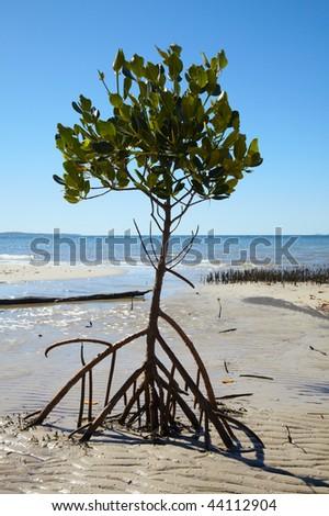 Mangrove tree at ocean beach in Australia - stock photo