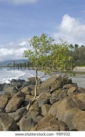 Mangrove tree at the ocean - stock photo