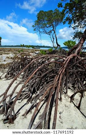 Mangrove tree in Havelock Island in Andamans, India. - stock photo