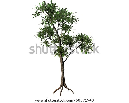 mangrove tree isolated
