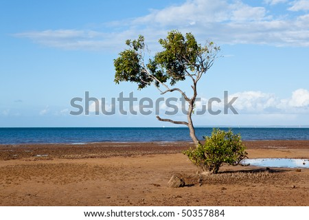 mangrove tree on beach at lowtide with blue sky background
